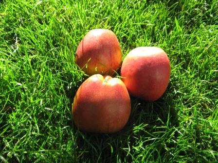 Apfel - Apfelessig